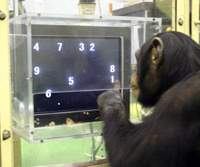 How do chimps top us in a brain test?