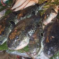 Torafugu (tiger blowfish; takifugu rubripes), the most poisonous species
