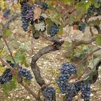 One of nine surviving Crljenak Kastelanski vines, found on the Dalmatian Coast of Croatia, that proved, through genetic tests, to be the origin of Zinfandel. Below, samples of grape DNA that lineupwhen electrified indicate the same heritage. | UNIVERSITY OF ZAGREB, CAROLE MEREDITH PHOTOS