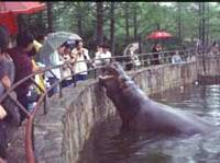 A hippopotamus gapes its massive jaws at visitors to Shanghai Zoo. | PHOTO COURTESY OF THE BORN FOUNDATION