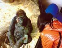 A visitor and a lowland gorilla in the Zoo's Woods of Gorillas take a close look at each other.