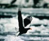A Steller's sea eagle flies into action near the Shiretoko Peninsula. | (C) IMAGES OF JAPAN
