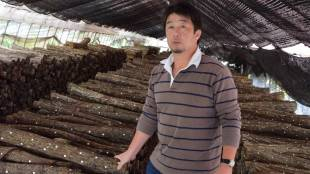 Cut up: Blighted Tochigi Prefecture mushroom farmer Yuji Hoshino with some of the 30,000 logs studded with pegs inoculated with shiitake spores that he must now dispose of because they have been exposed to radioactive rain.
