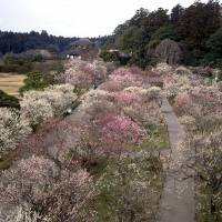 Easy access: Kairakuen's 3,000-plus plum trees are currently in full bloom.