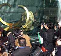The Yukagir Mammoth is on display as part of 'Warnings from Mammoth; Burning Forest, Melting Earth,' at the Miraikan (National Museum of Emerging Science and Innovation) in Odaiba until Sept. 3. | JAPAN TIMES PHOTO