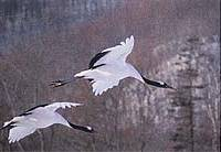 Red-crowned cranes in flight