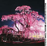 Taki-zakura in Miharu, Fukushima Prefecture (above), one of Japan's three most famous cherry trees. Heian Jingu in kyoto draws many to the beauty of its cherry blossoms both by day and when they are lit up at night.