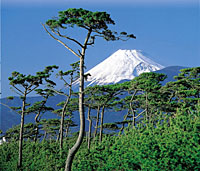 Pine trees soar against the background of Mount Fuji in the city of Numazu, Shizuoka Prefecture.
