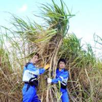 Workers harvest sugar cane, which can be used to make ethanol, at a plantation in Ie, Okinawa. | PHOTO COURTESY OF ASAHI BREWERIES LTD./KYODO