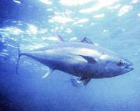 A Southern Bluefin tuna is shown in this file photo. Japan has agreed to halve its quota for five years to alleviate overfishing of the species.   PHOTO COURTESY OF TRAFFIC OCEANIA/KYODO