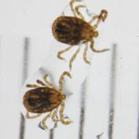 Once bitten: Ticks are believed to transmit severe fever with thrombocytopenia syndrome, or SFTS. | NATIONAL INSTITUTE OF INFECTIOUS DISEASES/KYODO