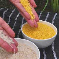 Controversial crop: Golden rice (right) is normal rice that has been genetically modified to provide vitamin A to counter blindness and other diseases in children in the developing world. | INTERNATIONAL RICE RESEARCH INSTITUTE