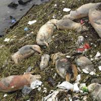 Dead pigs in river haven't hurt water supply, Shanghai says
