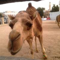 Milking it: A camel grazes outside a market in Doha last month. Sales of camel milk are surging in Karachi, Pakistan, with some proclaiming it 'the world's next superfood.' | BLOOMBERG