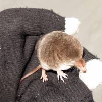 Not so tame: Rocketing through ski tracks in the Hokkaido snow, this tiny shrew provides a distraction from the day's pursuits. Fitting in one gloved hand and probably weighing less than an eyeball, the insectivorous mammal nonetheless has a feisty side. | MARK BRAZIL