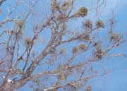 Mistletoe has captured the human imagination and been used in healing since ancient times.