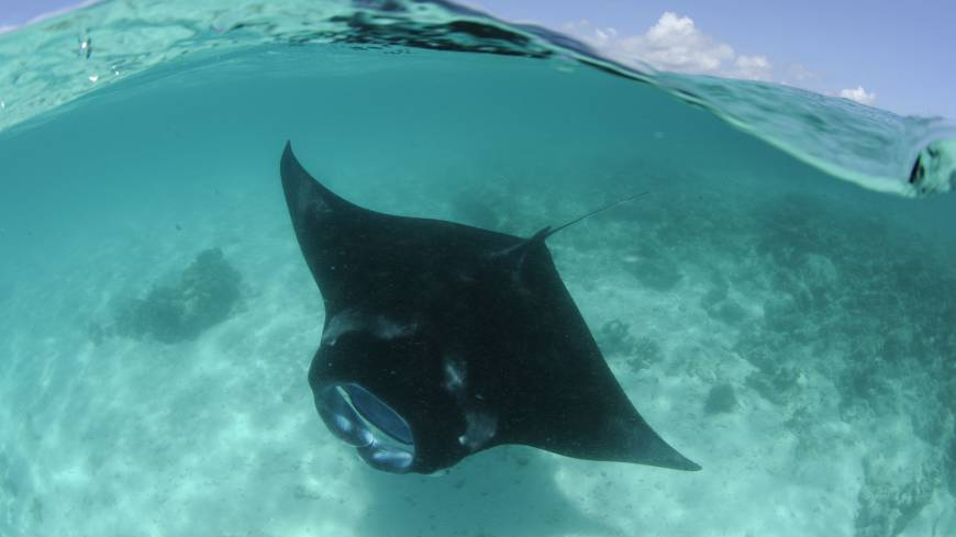 The Manta Ray was given CITES protection to save it from being eaten into extinction.? | Pewtrusts.org