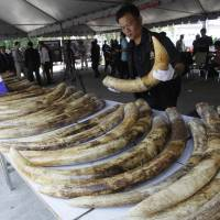 A Thai customs official displays seized elephant tusks smuggled into Thailand from Kenya during a press conference in 2011. | AP