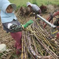 Sweet deal: Farmers harvest sugar cane in Yomitan, Okinawa, in February 2012. Japan wants sugar and other farm goods to be exempted from tariff elimination under the U.S.-led Trans-Pacific Partnership talks. | BLOOMBERG