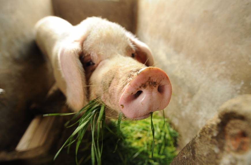 Dead pigs in river show dark side of China's food industry