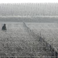 Brrr'd through the grapevine: A winemaker looks at cold weather damage caused to the grape crop at Chateau Larose  Trintaudon, a vineyard in the grand cru class in Margaux, France, in December 2005. | AFP-JIJI