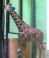 Taiyo, a 9-month-old male giraffe at an Akita zoo, stands with the aid of an artificial leg.