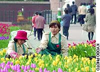 Employees of Huis Ten Bosch, which has continued operations since filing for bankruptcy last month, tend tulips in the theme park in Sasebo, Nagasaki Prefecture.
