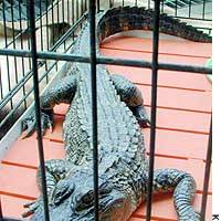 A Mississippi alligator found in a Saitama resident's backyard is held in a cage at the Urawa Police Station.