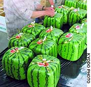 Growers in Zentsuji, Kagawa Prefecture, prepare to ship inedible cubic watermelons at a distribution center.