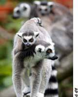 Ring-tailed lemurs  were among the animals stolen recently from the Research Institute of Evolutionary Biology in Tokyo.