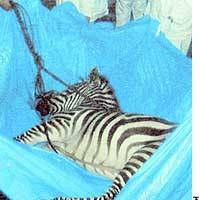 A tranquilized zebra is readied for transportation after escaping from a truck parked in an expressway service area in Kumamoto Prefecture. | PHOTO COURTESY OF JAPAN HIGHWAY PUBLIC CORP.