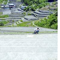 A terraced paddy field in mountainous Ehime Prefecture is covered with white cotton sheets, developed to reduce the hard labor of weeding.