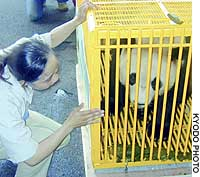 Yu-Hin, a male giant panda, is placed in a cage at Kansai International Airport for transport to China.