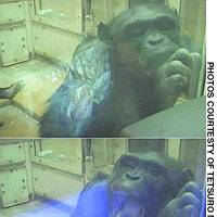 Female chimpanzee Ai watches a video with images of yawning chimps (top) and later yawns herself, indicating the action is contagious.