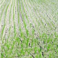 Parched rice paddies in Yasugi, Shimane Prefecture, reflect the area's lack of rain in June.