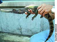 An employee at Ueno Zoological Gardens in Tokyo holds one of four false gavials falsely registered as being born in Japan.