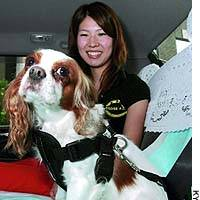 A dog is securely fastened to the back seat of a car with a special harness.