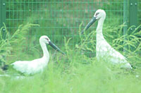 Two of Five white oriental storks to be released into the wild by a breeding center in Toyooka, Hyogo Prefecture, are shown in this handout photo. | HYOGO PREFECTURAL HOMELAND FOR THE ORIENTAL WHITE STORK PHOTO/KYODO