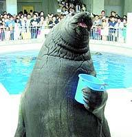 Minazo, Japan's largest seal, performs at Enoshima Aquarium in Fujisawa, Kanagawa Prefecture, in this undated file photo. The seal died Tuesday of unknown causes. | PHOTO COURTESY OF ENOSHIMA AQUARIUM