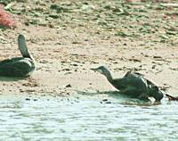A pair of oil-soaked seabirds is seen on a beach here Friday. Oil has crippled about ten times more birds than last year, researchers say.