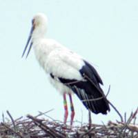An oriental white stork's egg is found stuck between its nest and the nest post Wednesday in Toyooka, Hyogo Prefecture. | PHOTO COURTESY OF HYOGO PREFECTURAL HOMELAND FOR ORIENTAL WHITE STORK/KYODO