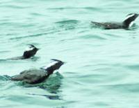 Endangered Murrelets are seen in April in the Pacific coast town of Kadogawa, Miyazaki Prefecture.