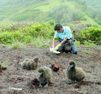 Tomohiro Deguchi, a researcher at the Yamashina Institute for Ornithology, breeds Laysan albatrosses on Kauai Island in April in this institute photo. | KYODO PHOTO