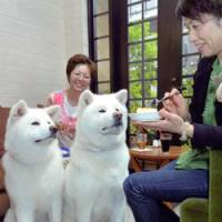 Akitas wait for food at the Denen Sabo cafe in the Denenchofu district in Ota Ward, Tokyo, last month.   KYODO PHOTO