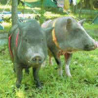 Minipigs are proving popular as pets, even in the home. | KYODO PHOTO