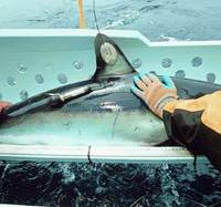 Scientists Release a transmitter-equipped shark back into the sea so its movements can be monitored. | U.S. NATIONAL OCEANIC AND ATMOSPHERIC ADMINISTRATION PHOTO/KYODO