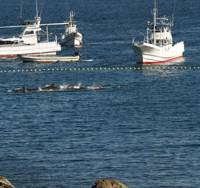 A net traps dolphins herded into a shallow holding cove Thursday near Taiji, Wakayama Prefecture. The spot is adjacent to the cove where the mammals were to be slaughtered the following daybreak. | BOYD HARNELL PHOTO
