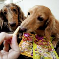 Miniature dachshunds are fed low-calorie snacks. | KYODO PHOTO