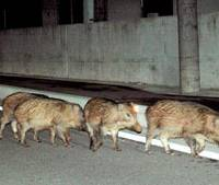 Boars roam the city of Fukui and other locations on the Tsuruga Peninsula, home to several nuclear plants. | KYODO PHOTO