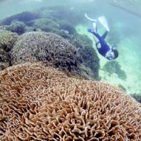 Communities of finger-tree or milk-bush coral continue to grow slowly 2 to 3 meters under the surface off the Shiraho district of Ishigaki Island, Okinawa Prefecture. | KYODO PHOTO